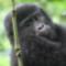 av gorilla infant