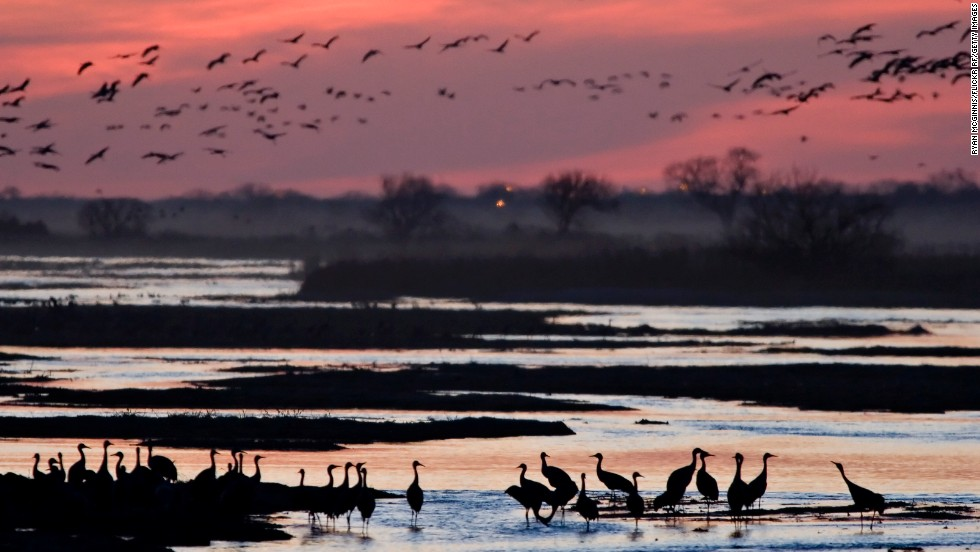 Hundreds of thousands of sandhill cranes migrate each year and many gather in early spring on the Platte River in Nebraska.