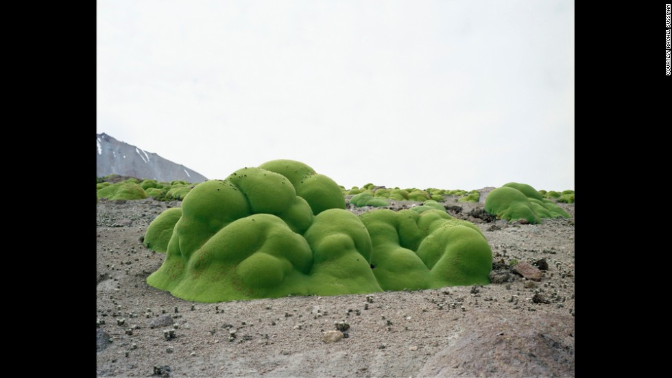 Llareta plant. Up to 3,000 years old. Atacama Desert, Chile.