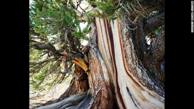 Bristlecone Pine. Up to 5,000 years old. White Mountains, California.