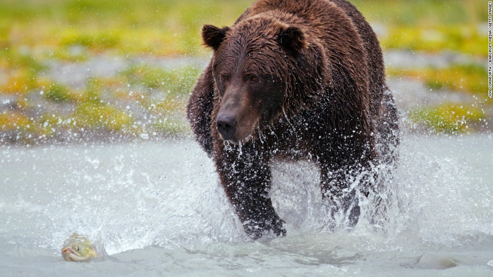 At Alaska's Katmai National Park a brown bear grapples with his slippery dinner. The sockeye salmon run starts here in late June and the bears come out for dinner.