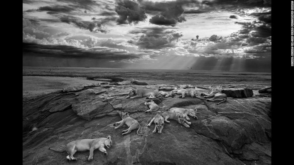 In this image, Nichols captured lions resting near a watering hole. He spent 12 months with the lions.