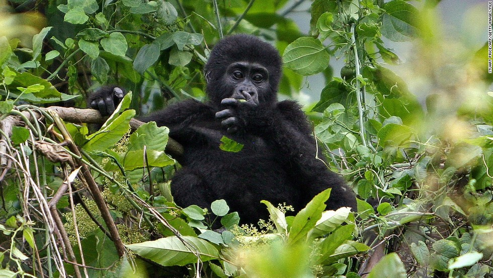 "The passionate conservationist explains there needs to be a careful balance between conservation and commerce. She says: ""I realized how the communities were benefiting a lot ... gorilla tourism is helping to lift them out of poverty."" But increased human interaction has had an effect on the gorillas."