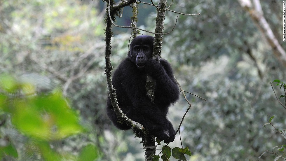 The critically endangered species are threatened by continued loss of habitat as a result of human activities, as well as poaching, deforestation and disease.