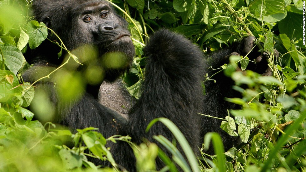 A silverback mountain gorilla inside Uganda's Bwindi National Park, home to about half of the world's mountain gorilla population.