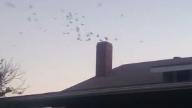 dnt birds swarm woman's house_00010406.jpg