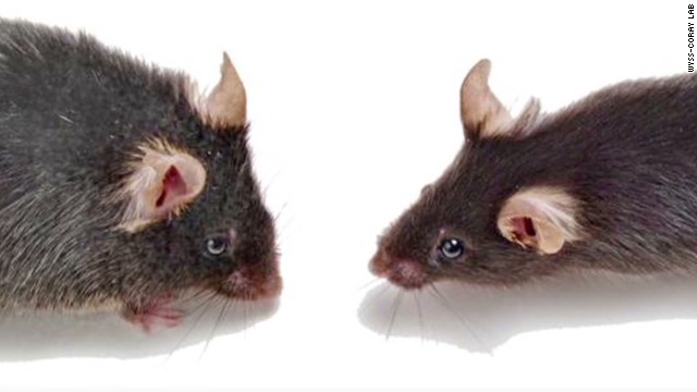 Study: Young mice blood reverses aging