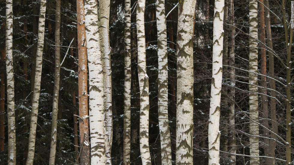 Aspen trees line the edge of a forest near Pavlovsk, just outside St. Petersburg.