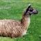 odd cheese-llama