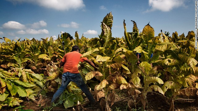 A 16-year-old worker harvests tobacco on a farm in Kentucky.