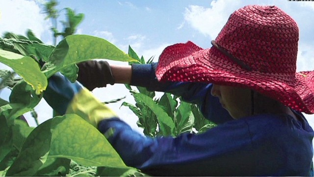 Kids as young as 7 work on tobacco farms