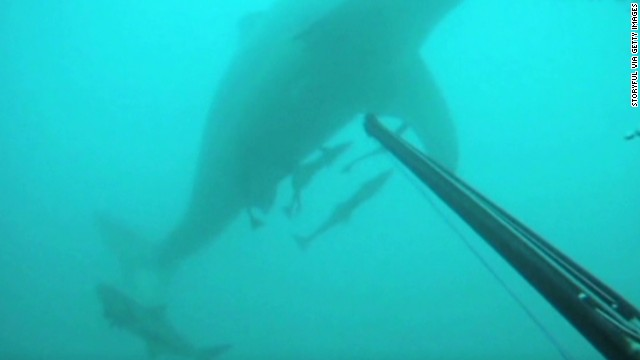 See diver battle great white with spear