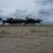 laytown races horses running