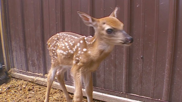 dnt hero saves baby deer after accident_00012824.jpg