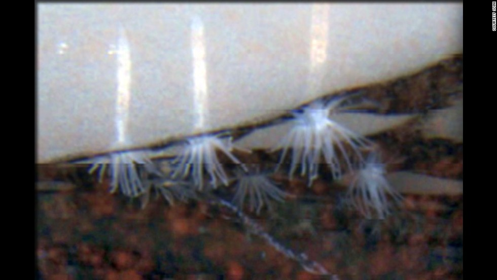 The Edwardsiella andrillae was discovered by scientists in  Antarctica. They're the only known species of sea anemones to live in ice.