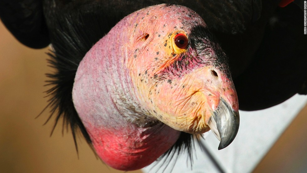 A rare and endangered California condor in Marble Gorge, east of Grand Canyon National Park in Arizona.