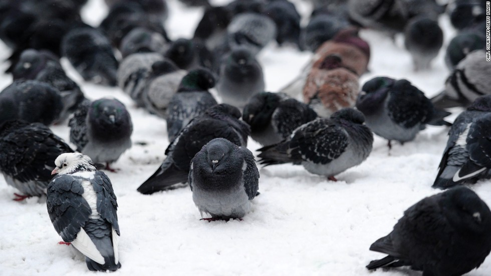 Pigeons huddle in the snow at St James' Park in central London.