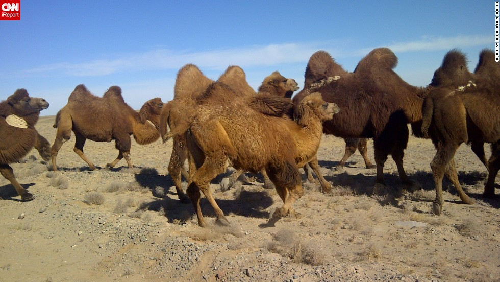 "<a href=""http://ireport.cnn.com/docs/DOC-889113"">Camels</a> journey through Mongolia's Gobi Desert. This image was taken with a BlackBerry."