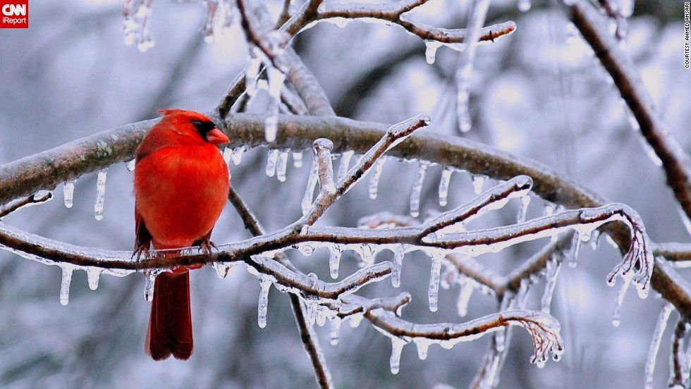 "A <a href=""http://ireport.cnn.com/docs/DOC-1067282"">cardinal</a> perches on an icy branch in Chantilly, Virginia."