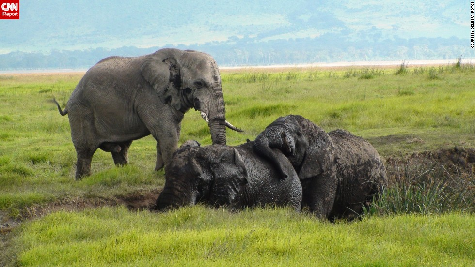 "These <a href=""http://ireport.cnn.com/docs/DOC-543804"">elephants</a> look to be enjoying their mud pit in Tanzania's Ngorongoro Crater."