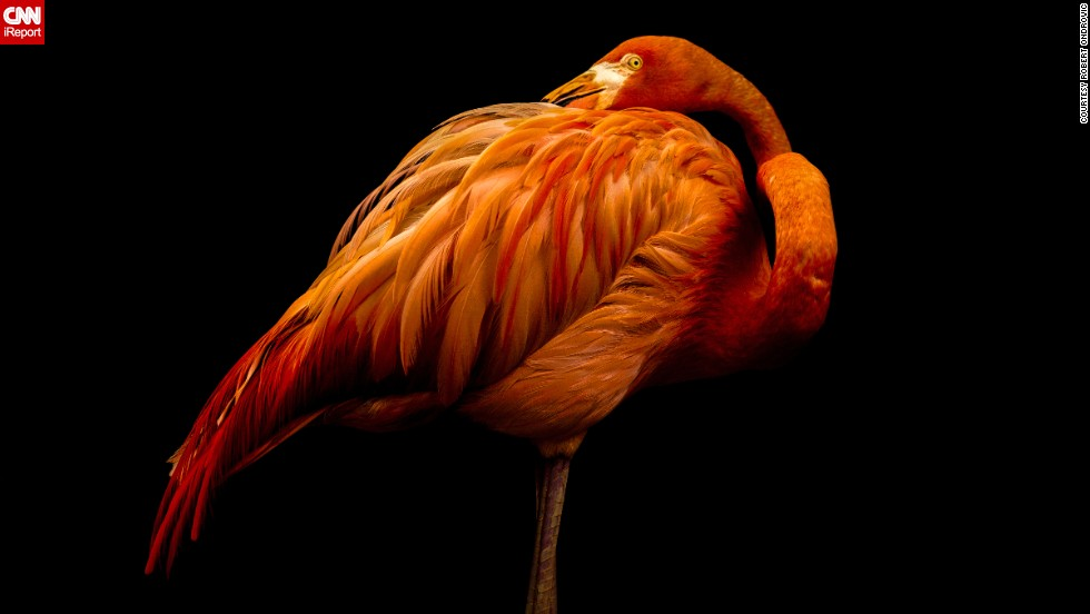 "Shot in a studio? Nope, this <a href=""http://ireport.cnn.com/docs/DOC-1122035"">flamingo</a> just happened to pose against a black background for a patient photographer at a sanctuary in New Jersey."