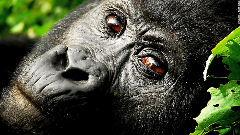 "Click through the gallery to see our favorite examples of gorgeous wildlife photography. This soulful portrait of a <a href=""http://ireport.cnn.com/docs/DOC-608556"">mountain gorilla</a> was taken by Craig Smith along the Rwanda-Uganda border."