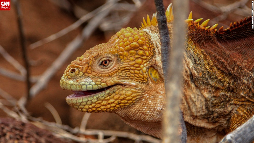 "The Galapagos Islands are home to many unusual and rare animals, including the otherworldly <a href=""http://ireport.cnn.com/docs/DOC-1122385"">land iguana</a>."