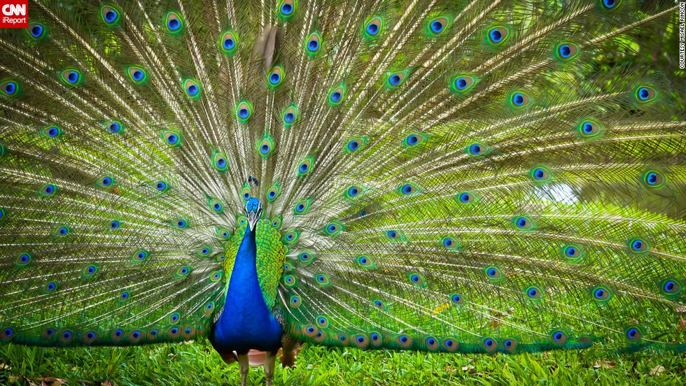 "A striking <a href=""http://ireport.cnn.com/docs/DOC-967907"">peacock</a> faces the camera in Cotui, Dominican Republic."