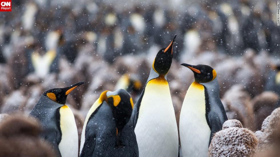"<a href=""http://ireport.cnn.com/docs/DOC-1111663"">King penguins</a> frolic on South Georgia Island between Argentina and Antarctica."