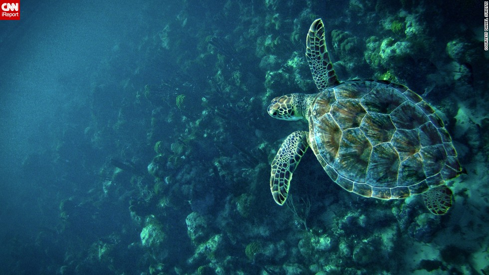 """A <a href=""""http://ireport.cnn.com/docs/DOC-908815"""">sea turtle</a> explores about a mile offshore of Providenciales, Turks and Caicos."""