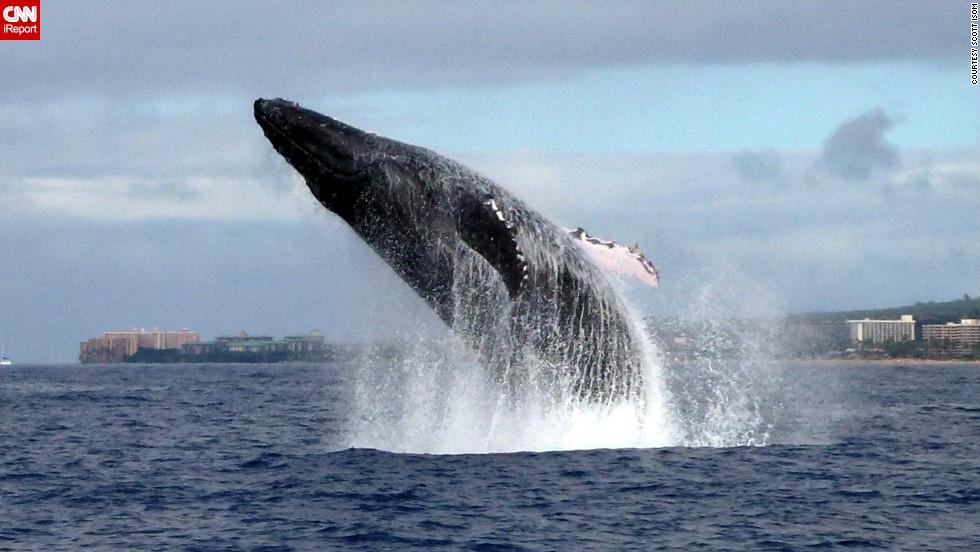 "A <a href=""http://ireport.cnn.com/docs/DOC-1064800"">humpback whale</a> makes a massive splash off the coast of Maui, Hawaii."