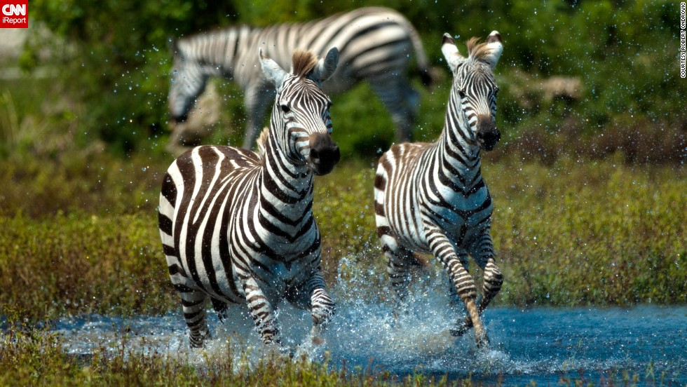 "<a href=""http://ireport.cnn.com/docs/DOC-1121807"">Zebras</a> gallop through the water on a hot day at a reserve in Palm Beach, Florida."