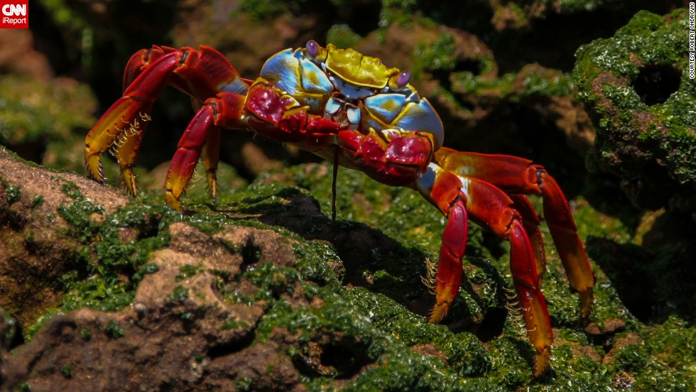 """This colorful Galapagos <a href=""""http://ireport.cnn.com/docs/DOC-1121472"""">crab</a> is called a """"Sally Lightfoot"""" or """"red rock"""" crab."""
