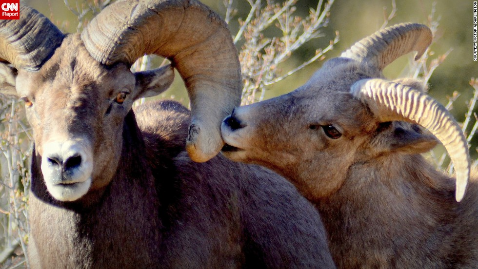 "Two <a href=""http://ireport.cnn.com/docs/DOC-1121362"">bighorn sheep</a> share a tender moment in Georgetown, Colorado."