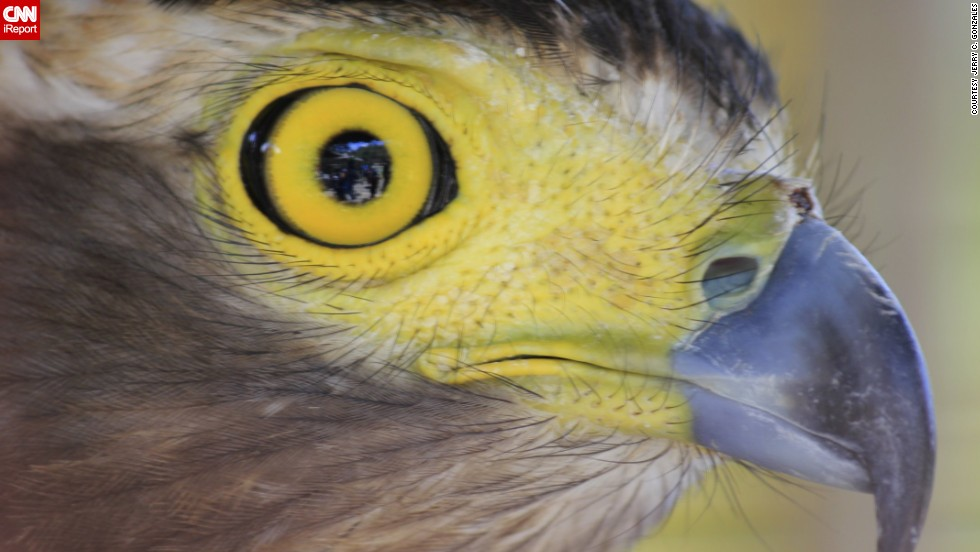 """Bet you've never seen an <a href=""""http://ireport.cnn.com/docs/DOC-779543"""">eagle</a> this close before! This one lives in Pugo, Philippines."""
