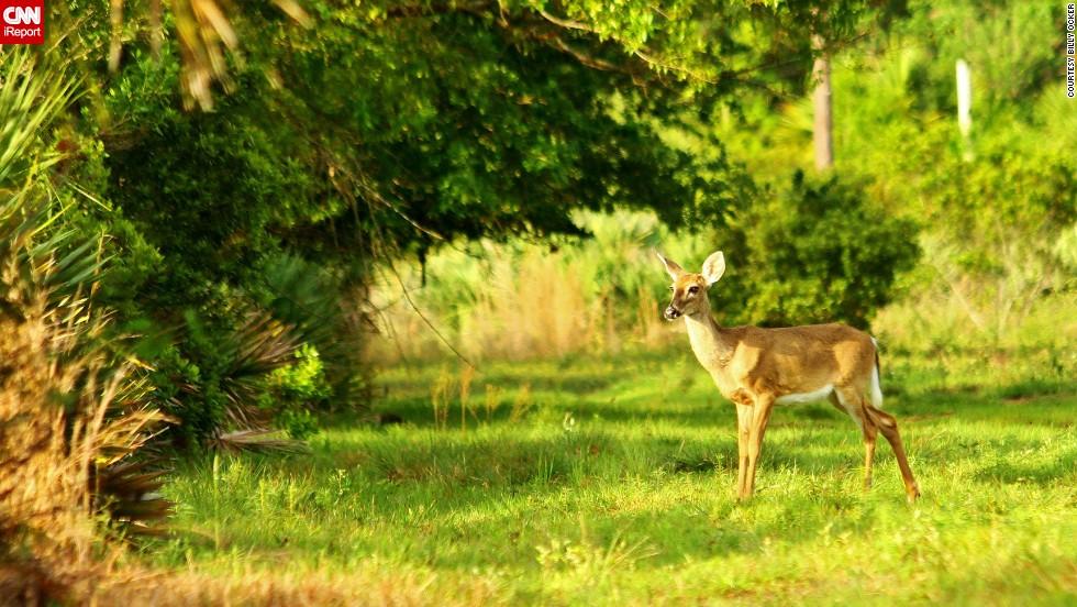 "Sunlight shines upon a <a href=""http://ireport.cnn.com/docs/DOC-1023750"">deer</a> in Saint Sebastian River Preserve State Park, Florida."