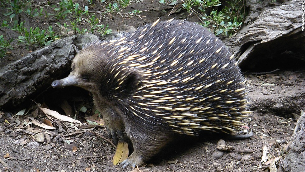 The echidna is the one of only two species of mammal to lay eggs. Incredibly rare, its main threat is being hunted for human consumption.