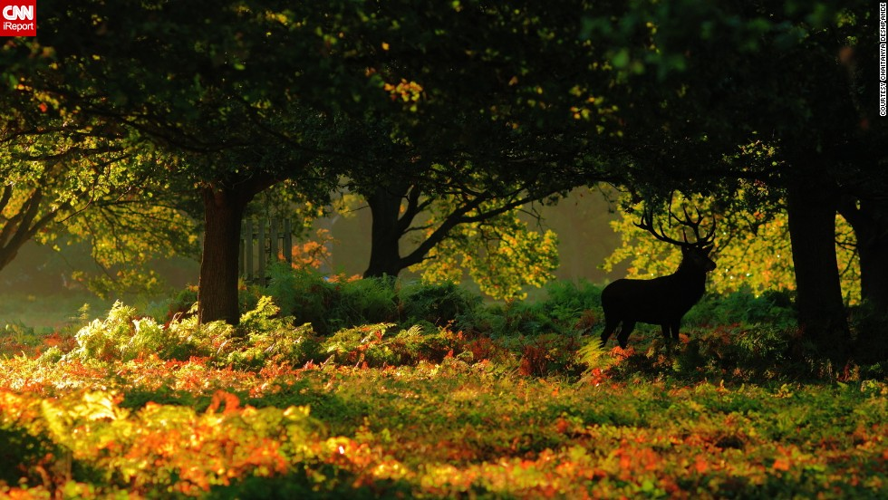 "A majestic <a href=""http://ireport.cnn.com/docs/DOC-864609"">stag</a> pauses amongst the autumn leaves in London's Richmond Park."