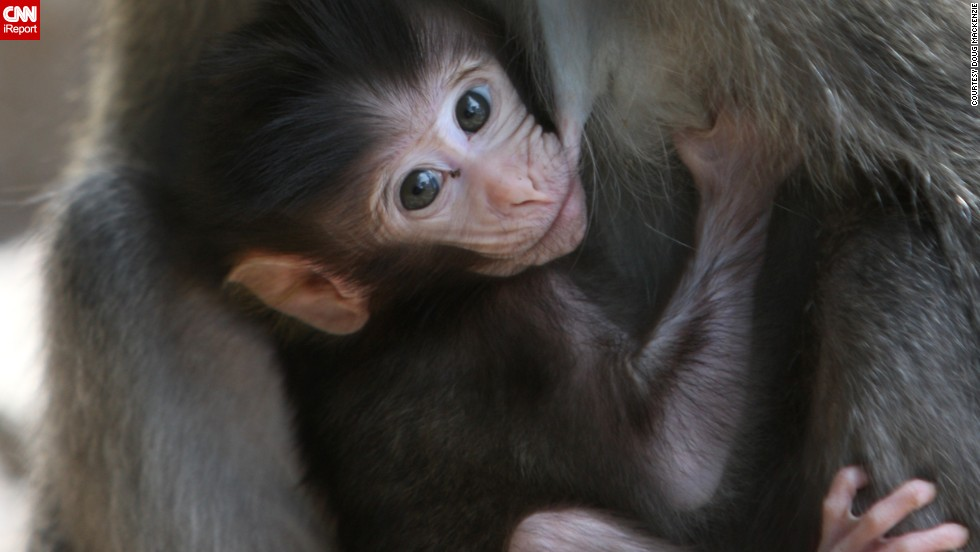 "A baby <a href=""http://ireport.cnn.com/docs/DOC-1121841"">monkey</a> nurses in Lombok, Indonesia."