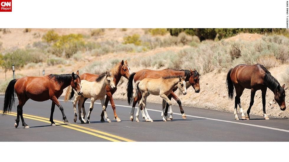"""Feral <a href=""""http://ireport.cnn.com/docs/DOC-811225"""">horses</a> cross a road near Reno, Nevada."""