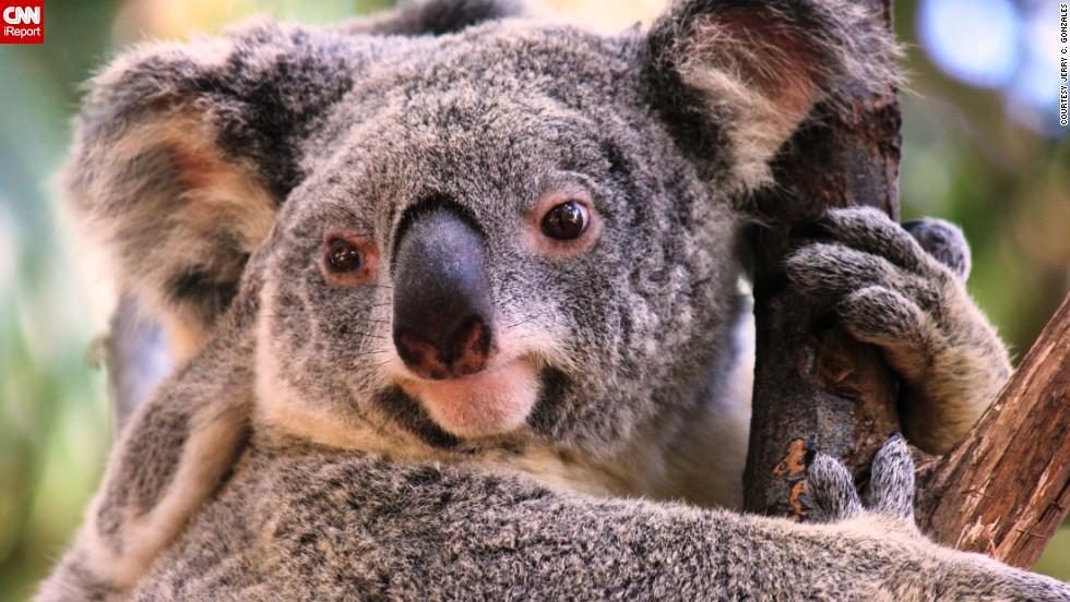 "A <a href=""http://ireport.cnn.com/docs/DOC-1039747"">koala</a> clings to a eucalyptus tree in Queensland, Australia."
