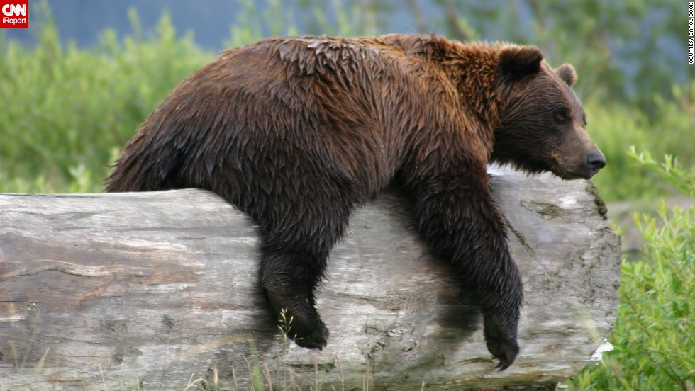 "This <a href=""http://ireport.cnn.com/docs/DOC-1120419"">grizzly bear</a> got a little tired from playing in a pond outside Anchorage, Alaska, and settled down on this log for a nap."