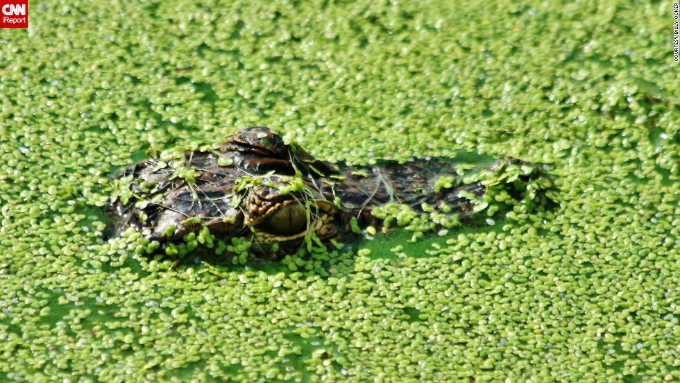 """This <a href=""""http://ireport.cnn.com/docs/DOC-1120510"""">alligator</a> is very well camouflaged in a Sebastian, Florida, pond."""