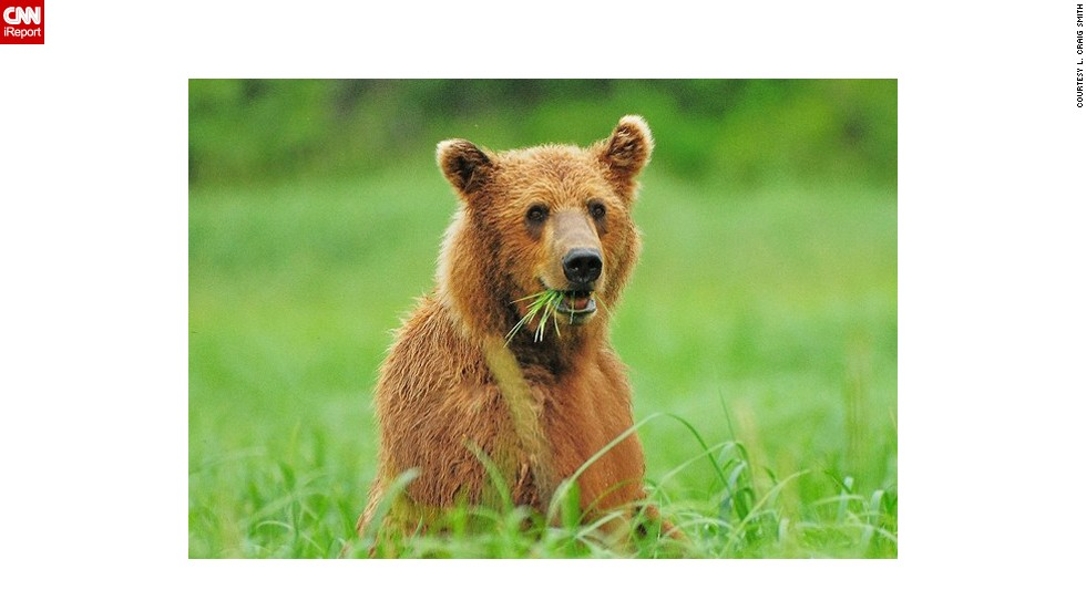 "This <a href=""http://ireport.cnn.com/docs/DOC-607693"">grizzly bear</a> on Alaska's Katmai Peninsula looks pleased with his snack."