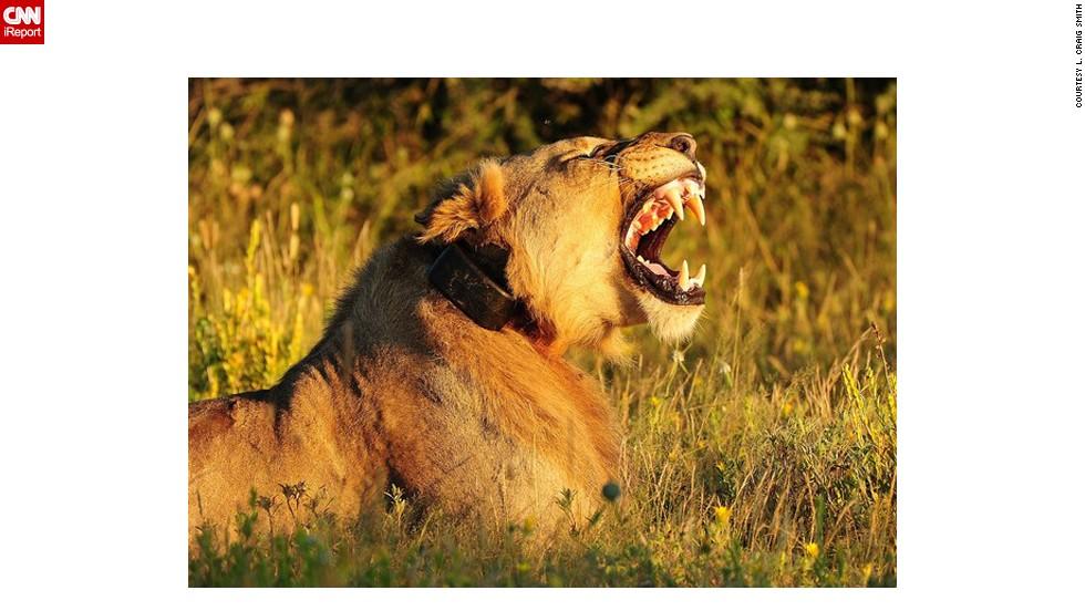 "A Namibian <a href=""http://ireport.cnn.com/docs/DOC-597392"">lion</a> lets out a roar."