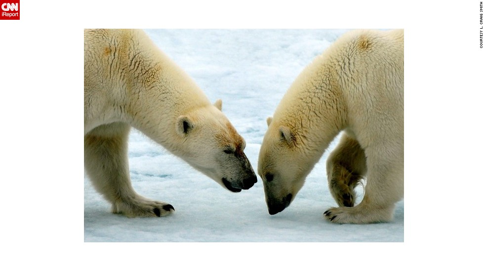 "Two <a href=""http://ireport.cnn.com/docs/DOC-604078"">polar bears</a> interact on a sheet of ice in Svalbard, Norway."