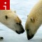 polar bears irpt