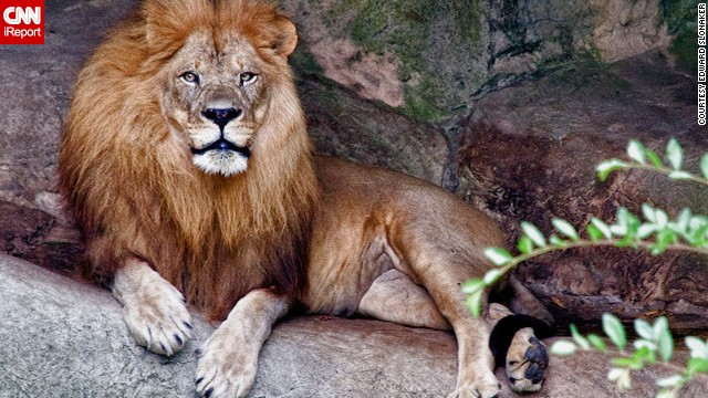 This lovely lion portrait was captured at the Audubon Zoo in New Orleans, Louisiana.
