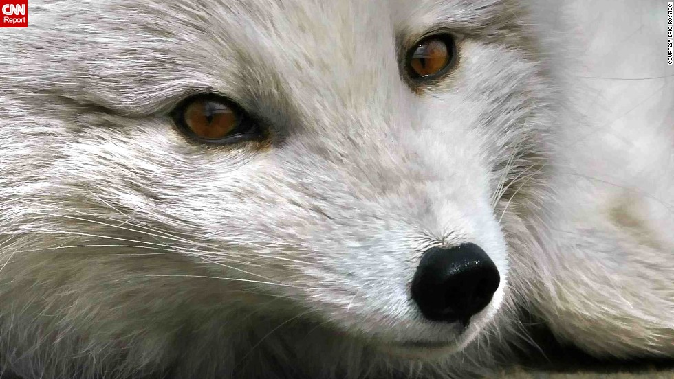 """This ultraclose shot from Montreal, Canada, shows off the <a href=""""http://ireport.cnn.com/docs/DOC-795904"""">Arctic fox's</a> eyes and expression."""