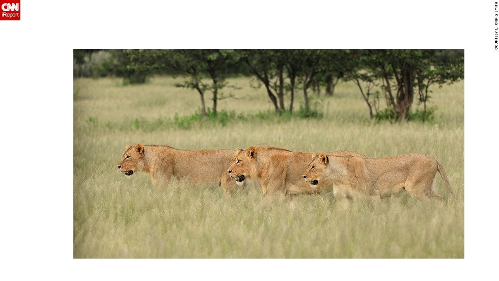 """Three <a href=""""http://ireport.cnn.com/docs/DOC-597392"""">lions</a> stalk their prey at dusk in Namibia."""